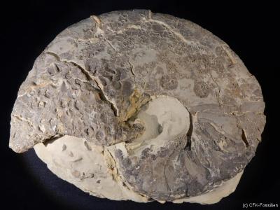 Nautilus bidorsatus