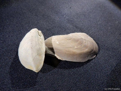 Myophoria~Hoernesia