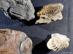 Trilobiten Mortain C214