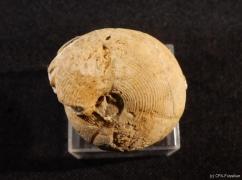 Dombarites carinatus C207