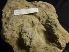 Brachychirotherium-2-C11