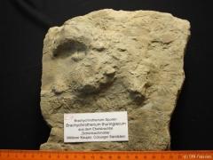 Brachychirotherium-5-C31