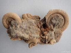 dactylioceras-stufe-3-lias-epsilon-schlaiffhausen-17cm