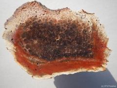 tietea-singularis-2-perm-rotliegend-brasilien-araquaina