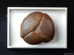 Cheiloceras sp. 1