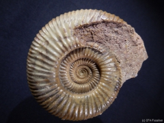 c136-planisphinctes-sp
