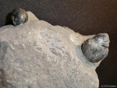 c182_prionoceras-divisum-prolobites-delphinus