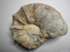ceratites-nodosus-ob-muschelkalk-bechstedt-wagd-c24