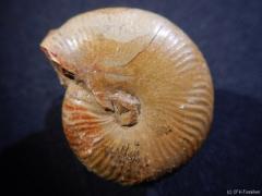 popanoceras-26-cm