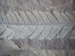 nilssonia-acuminata-2