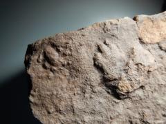 dicynodontipus