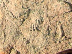 rhynchosauroides
