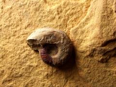 ammonit-dogger-beta