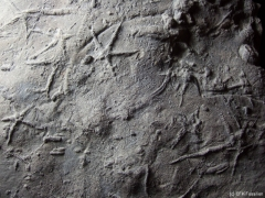 asteriacites-platte-detail