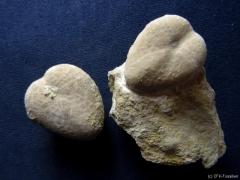 k800_colyrites-carinatus