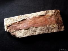 neocalamites-lehmannianus
