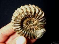 pleuroceras-ohne-zopfkiel