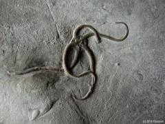 schlangensternplatte-detail-1