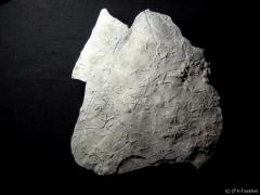 asteriacites-platte