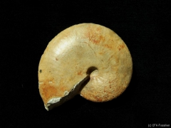 k800_259-taramelliceras-compsum