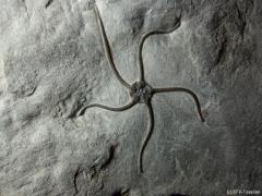 schlangensternplatte-detail-2