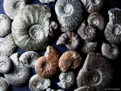 verschiedene-ammoniten-mistelgau