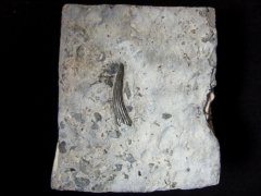 mo13_zahn-nothosaurus