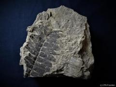 K800_Pterophyllum-1