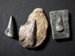 mastodonsaurus-zahn