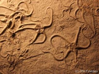 schlangensterne2