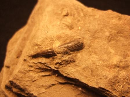 zahn-blumenrod