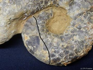 Ceratites nodosus1