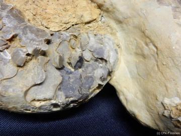 Ceratites nodosus2