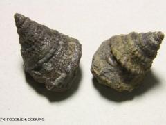 amphitrochus-arten_oT_g
