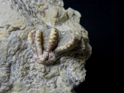 k800_dreierplatte-encrinus-acuelatus-detail-1