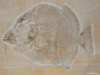 der unbestimmte Kugelzahnfisch