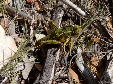 K1600_Pamphagus sardeus