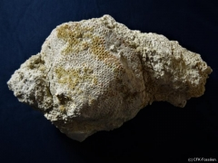 1_K800_Cibrospongia-cf.-reticulata