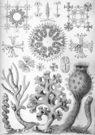 K800_800px-Haeckel_Hexactinellae