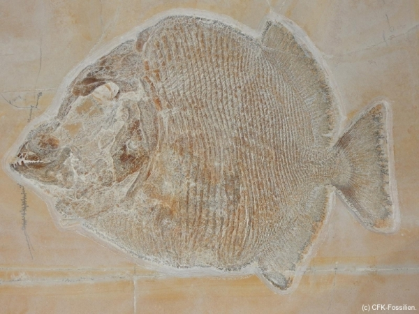der unbestimmte Kugelzahnfisch 2017