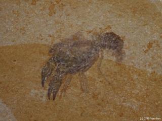 K1600_Palaeastacus-3