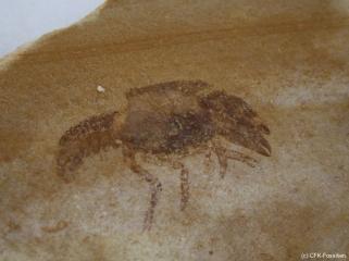 K1600_Palaeastacus-sp.
