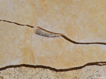 K1600_Rhamphorhynchus-sp.