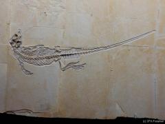 cf. Sapheosaurus 2011