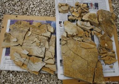 K1600_Pseudorhina-fragment-bearb.